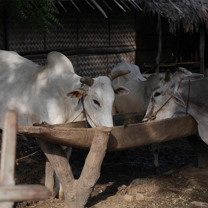 Kühe am Trog von pixabay